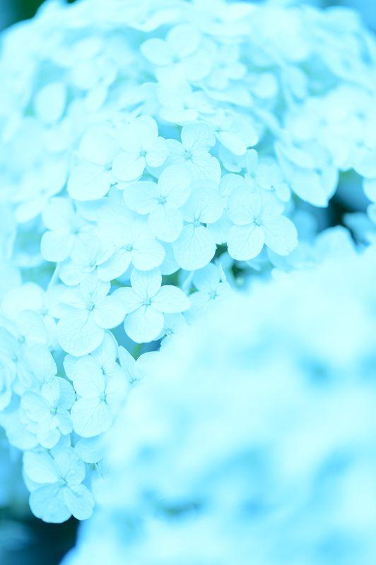 空梅雨の紫陽花巡り! 藤森神社_f0032011_1830544.jpg