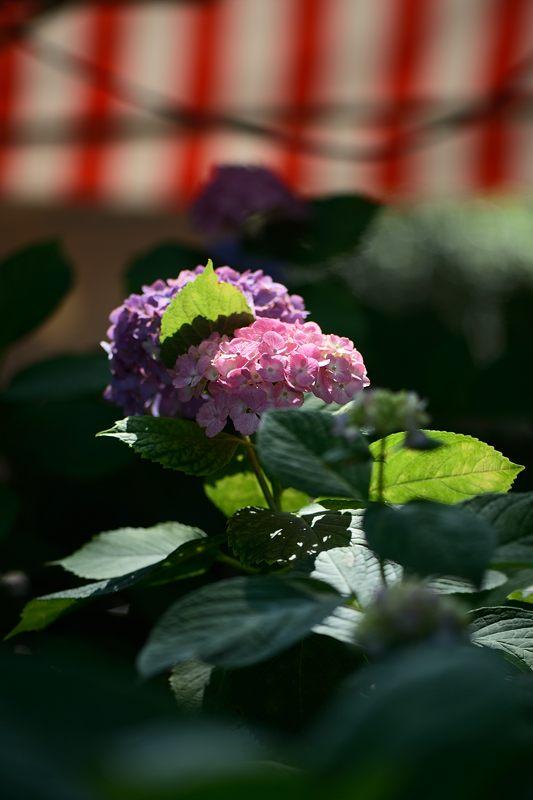 空梅雨の紫陽花巡り! 藤森神社_f0032011_18311619.jpg