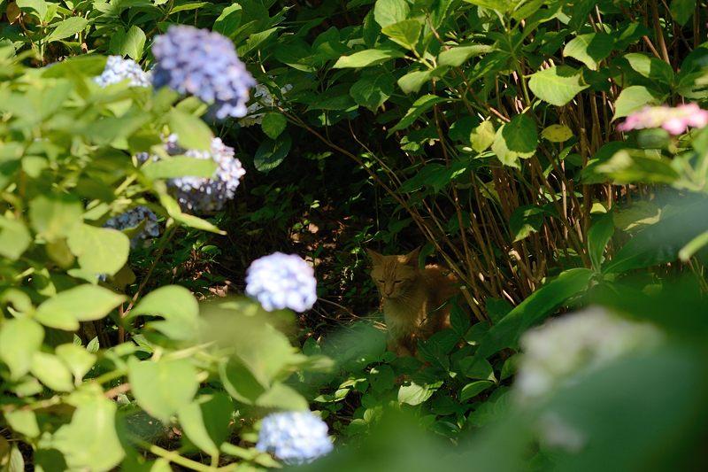 空梅雨の紫陽花巡り! 藤森神社_f0032011_18312565.jpg