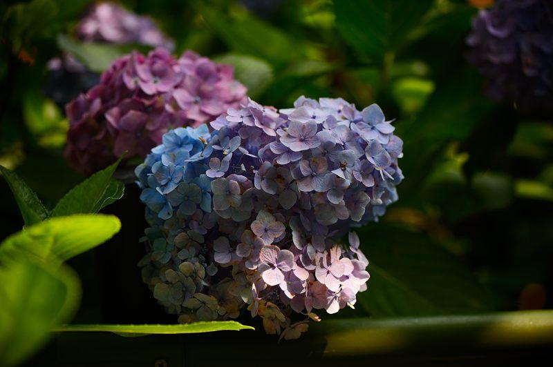 空梅雨の紫陽花巡り! 藤森神社_f0032011_18321538.jpg