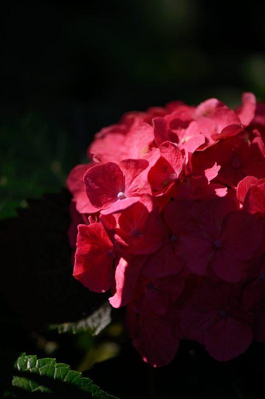 空梅雨の紫陽花巡り! 藤森神社_f0032011_1832318.jpg