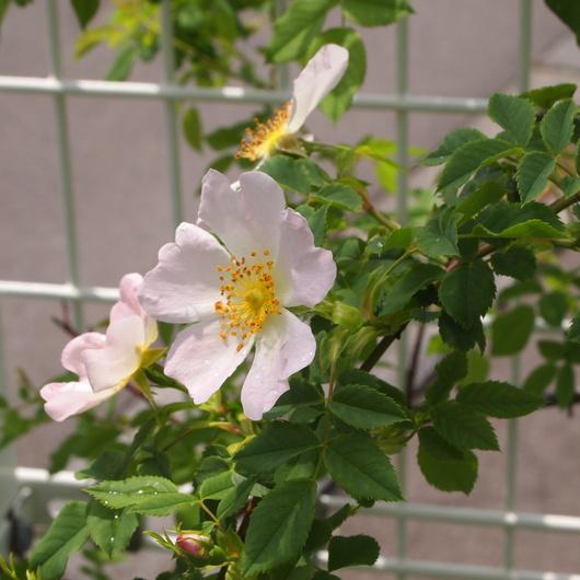 ローズヒップのバラ開花_a0292194_1710388.jpg