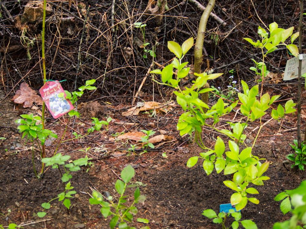 """こりすちゃんも注目!今年、新しく植えた""""ブルーベリー""""の庭_f0276498_23104374.jpg"""