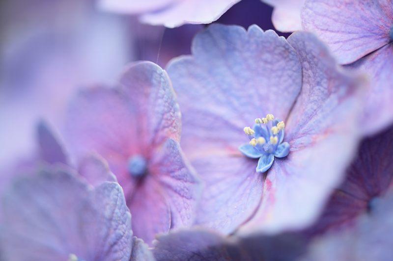 空梅雨の紫陽花巡り! 梅宮大社・其の一_f0032011_18192021.jpg