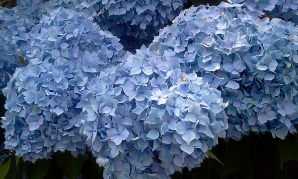 紫陽花は雨に濡れて_f0004730_14251896.jpg