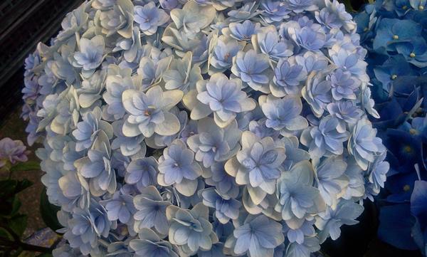 紫陽花は雨に濡れて_f0004730_1441491.jpg