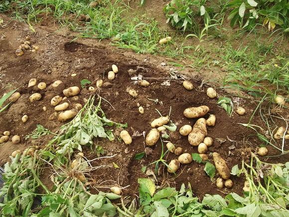 """ジャガイモの""""逆さ植え""""の結果は...._b0137932_15515864.jpg"""