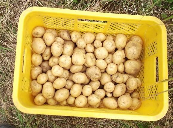 """ジャガイモの""""逆さ植え""""の結果は...._b0137932_15533432.jpg"""