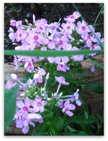 今は落ち着いた感じの庭です_a0243064_20311191.jpg