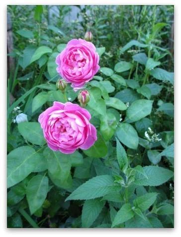 今は落ち着いた感じの庭です_a0243064_20343481.jpg