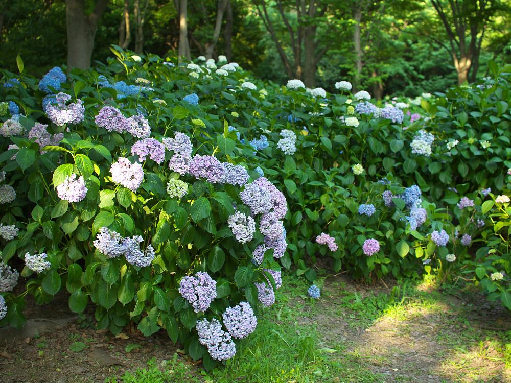 紫陽花 2014 山田池公園                _f0021869_0284527.jpg