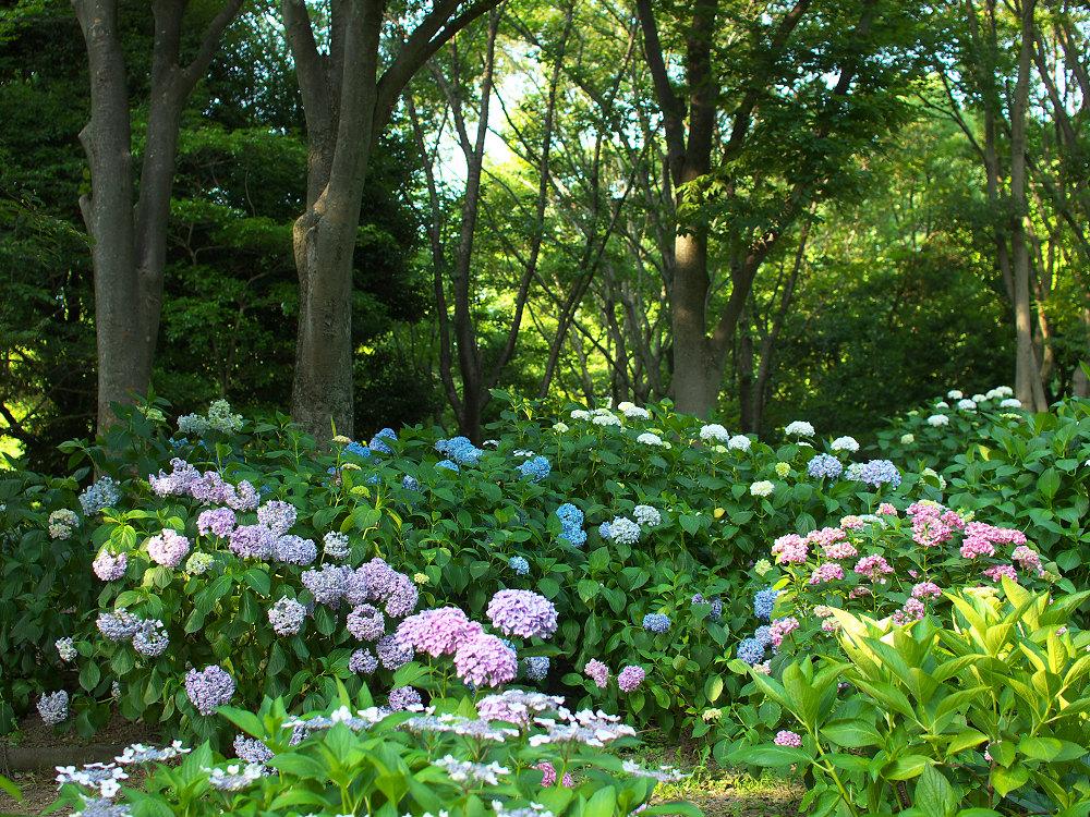 紫陽花 2014 山田池公園                _f0021869_028548.jpg