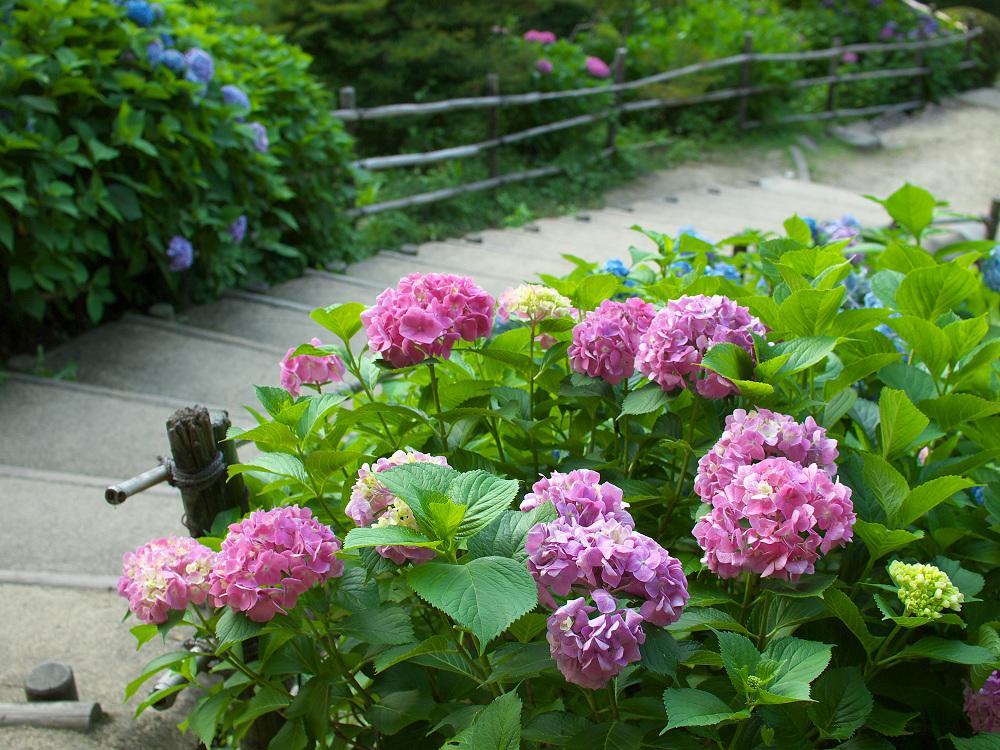 紫陽花 2014 山田池公園                _f0021869_0291547.jpg