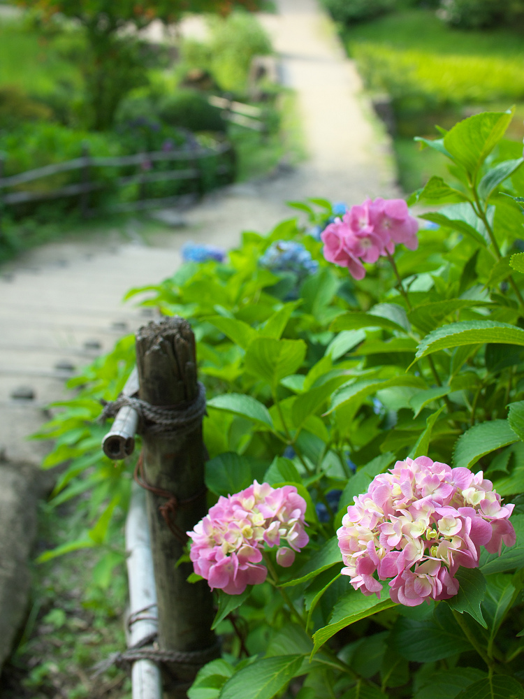 紫陽花 2014 山田池公園                _f0021869_0301190.jpg