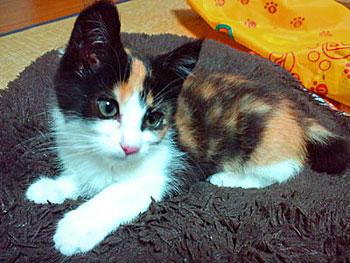 保護された仔猫の写真。とっても美人の三毛仔猫ちゃんですよ。
