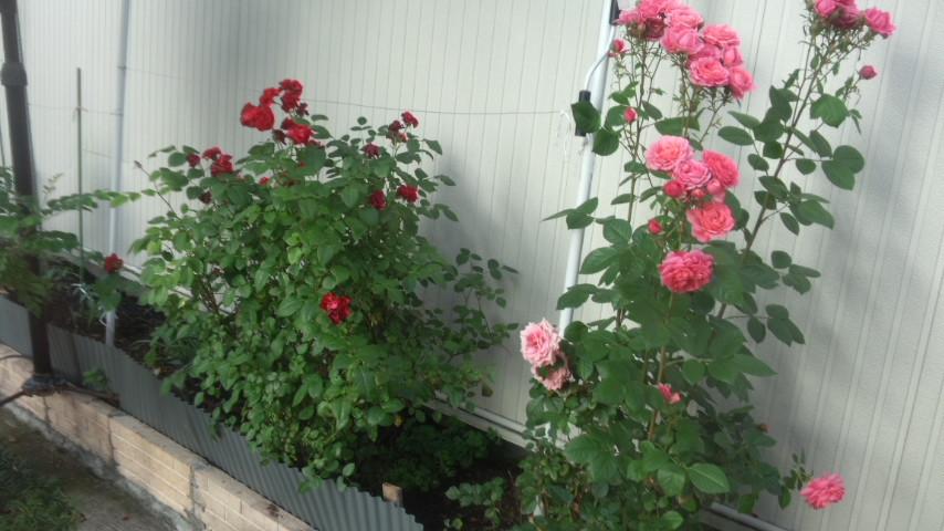 薔薇 26・6・17 (火)雨_f0201790_10132957.jpg