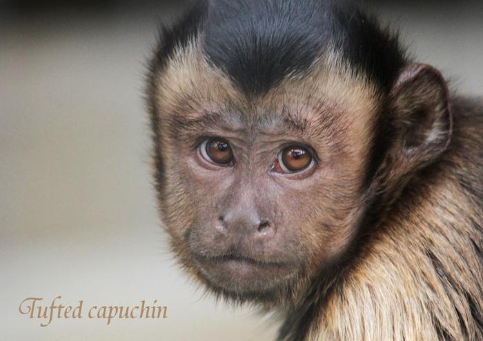 フサオマキザル:Tufted capuchin_b0249597_5205333.jpg