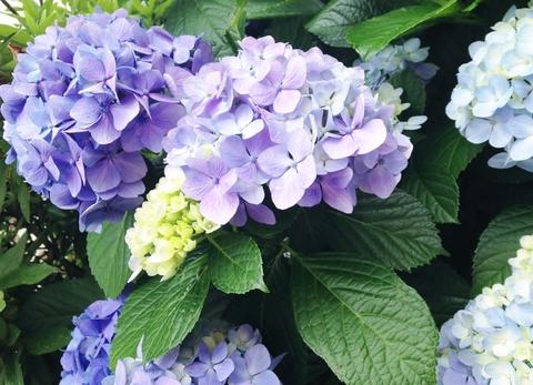 紫陽花_c0132608_17215438.jpg