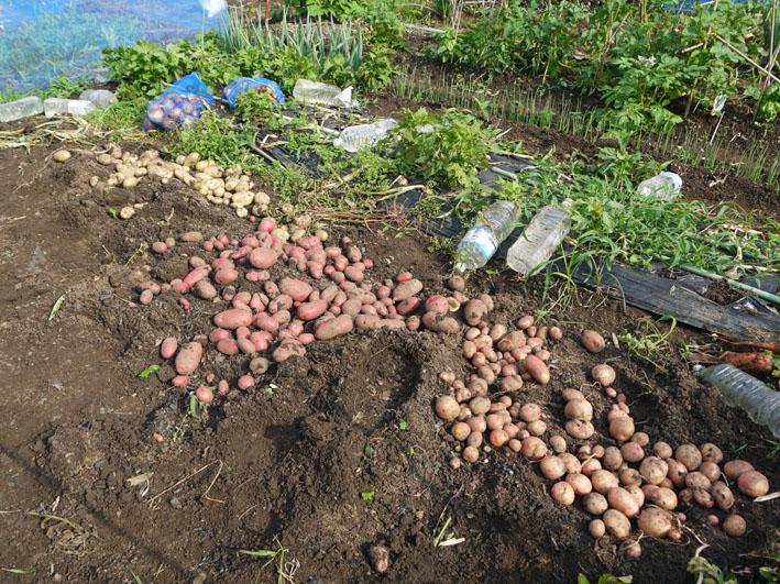 ジャガイモの保存に竹炭、タマネギには万能ネット袋使用_c0014967_7591416.jpg