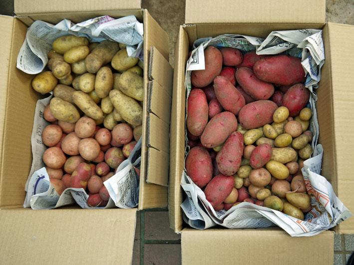 ジャガイモの保存に竹炭、タマネギには万能ネット袋使用_c0014967_802345.jpg
