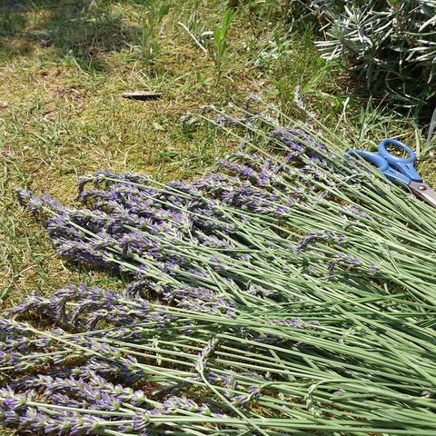 ラベンダー収穫と机の整理。_d0182179_19315933.jpg