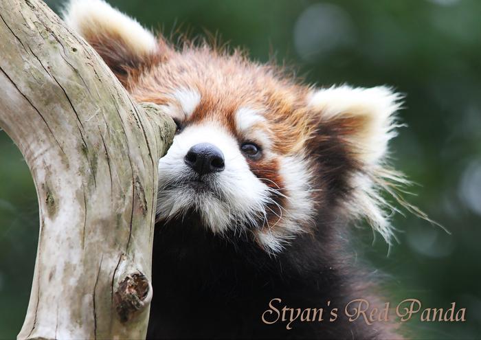 シセンレッサーパンダ:Styan\'s Red Panda_b0249597_549519.jpg