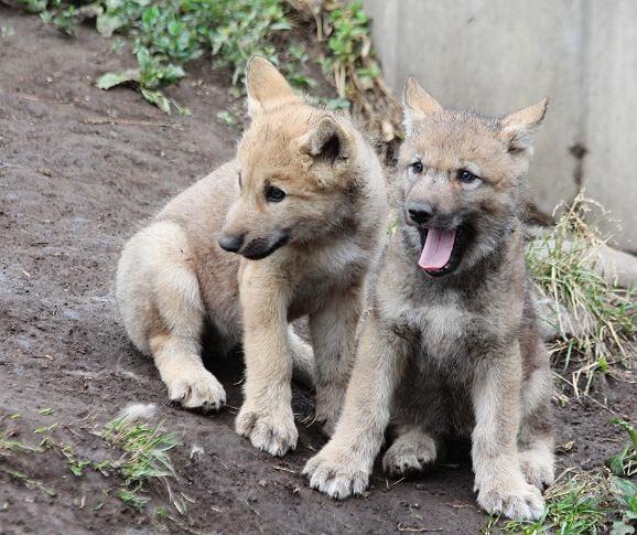 オオカミの赤ちゃん(仔オオカミ)_c0155902_19261946.jpg