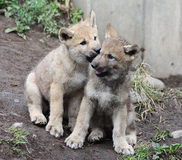 オオカミの赤ちゃん(仔オオカミ)_c0155902_192706.jpg