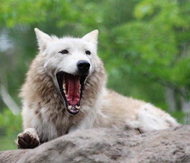 オオカミの赤ちゃん(仔オオカミ)_c0155902_19275117.jpg