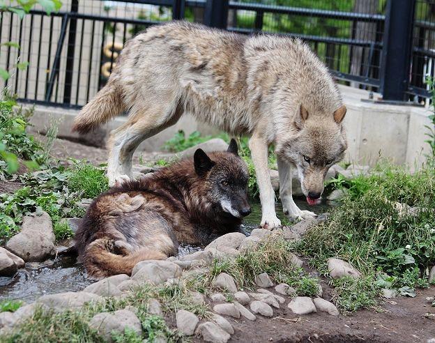 オオカミの赤ちゃん(仔オオカミ)_c0155902_19295294.jpg