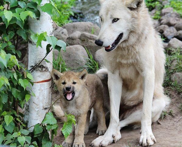 オオカミの赤ちゃん(仔オオカミ)_c0155902_1931765.jpg