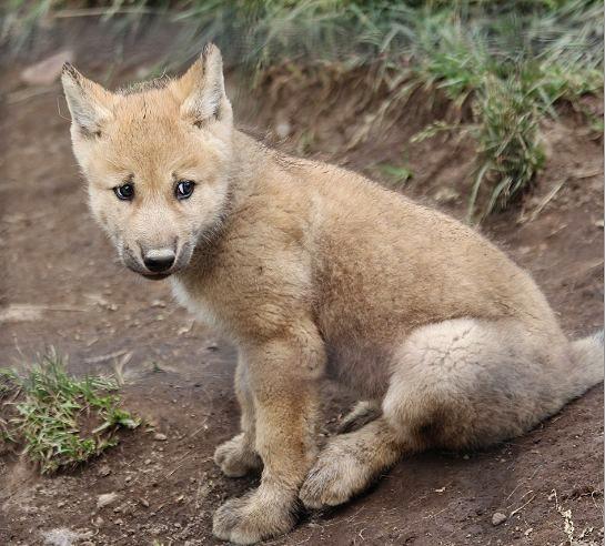オオカミの赤ちゃん(仔オオカミ)_c0155902_19323986.jpg