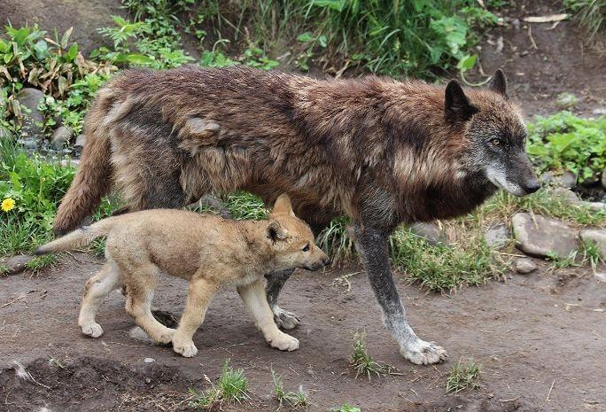 オオカミの赤ちゃん(仔オオカミ)_c0155902_19335087.jpg
