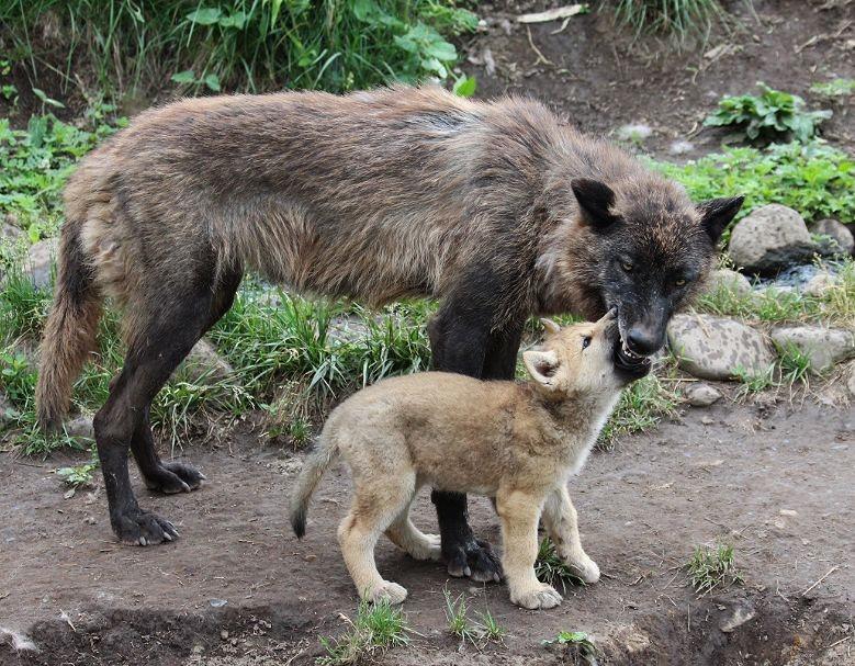 オオカミの赤ちゃん(仔オオカミ)_c0155902_1934714.jpg