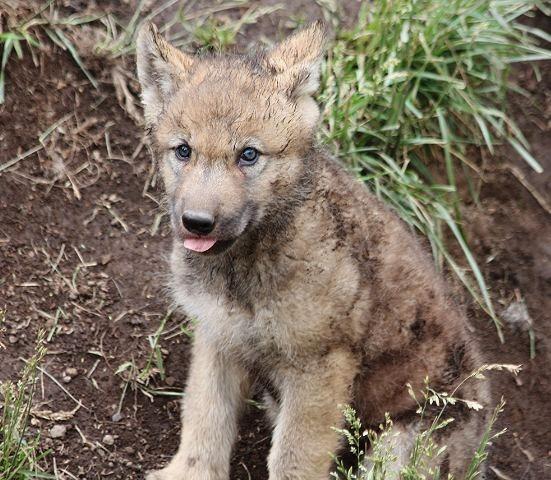 オオカミの赤ちゃん(仔オオカミ)_c0155902_19352163.jpg