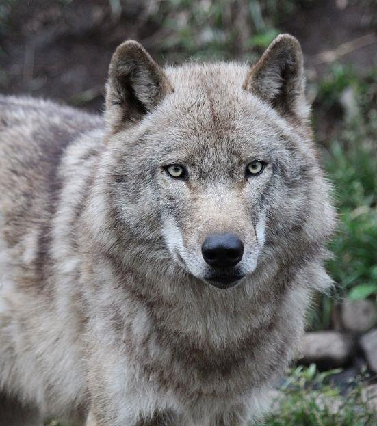 オオカミの赤ちゃん(仔オオカミ)_c0155902_19374271.jpg
