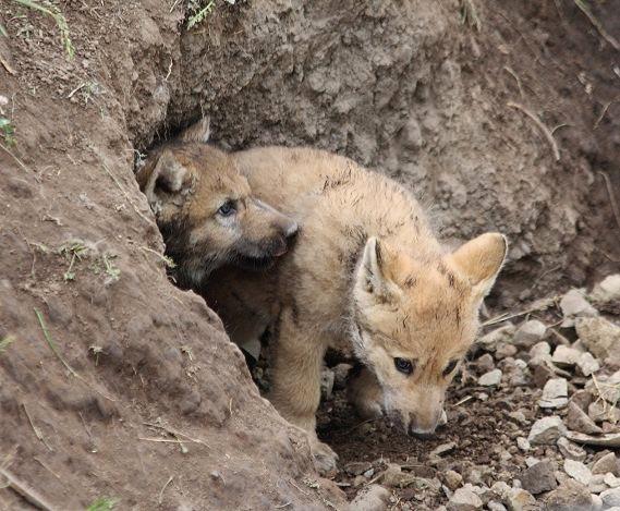 オオカミの赤ちゃん(仔オオカミ)_c0155902_19381475.jpg