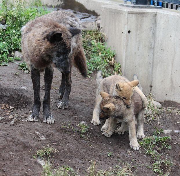 オオカミの赤ちゃん(仔オオカミ)_c0155902_19385219.jpg