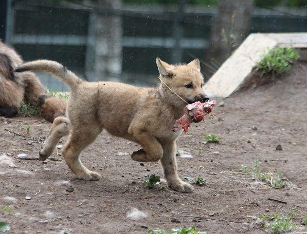 オオカミの赤ちゃん(仔オオカミ)_c0155902_19401434.jpg