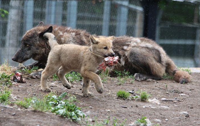 オオカミの赤ちゃん(仔オオカミ)_c0155902_1940285.jpg