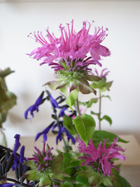 シソ科のベルガモットの花_c0200002_1858547.jpg