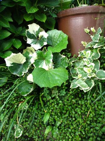 雨上がりの庭は緑が鮮やかですね_a0243064_07285749.jpg