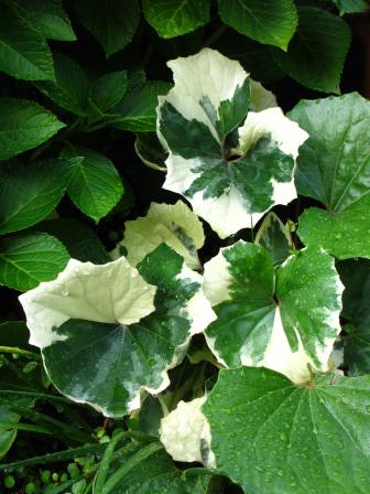 雨上がりの庭は緑が鮮やかですね_a0243064_07290692.jpg