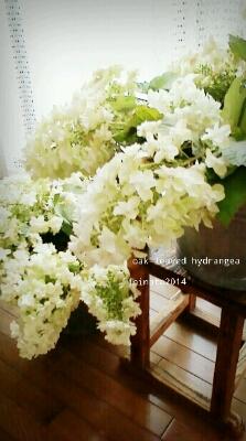 カシワバアジサイ_b0241864_6195150.jpg