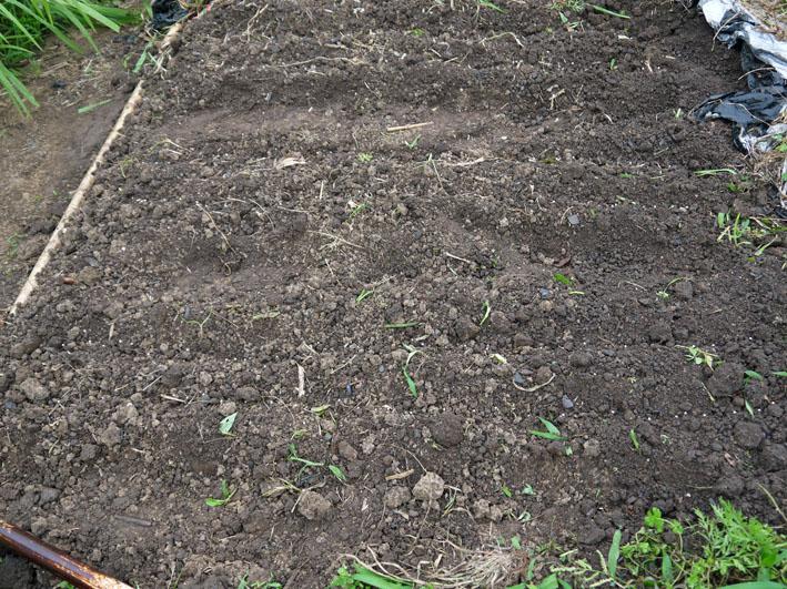 スイカ着果、ニンジンは昨年より1ヶ月以上早く種まき6・18_c0014967_10231764.jpg