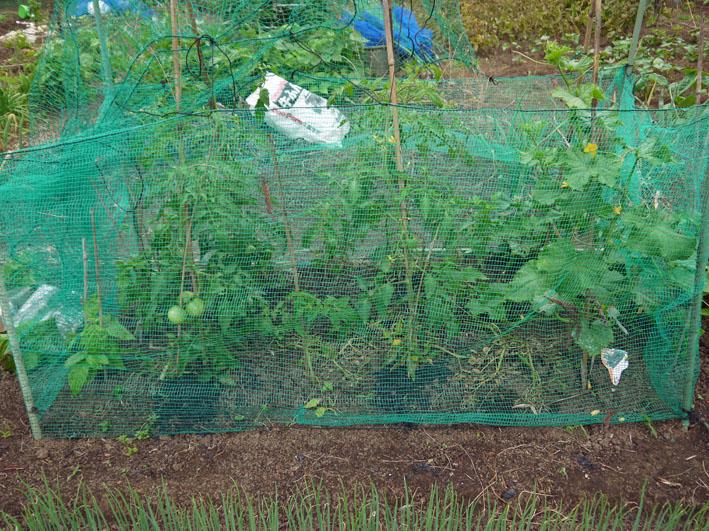 スイカ着果、ニンジンは昨年より1ヶ月以上早く種まき6・18_c0014967_1030659.jpg