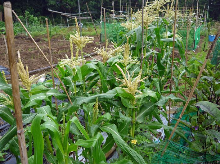 スイカ着果、ニンジンは昨年より1ヶ月以上早く種まき6・18_c0014967_1030961.jpg