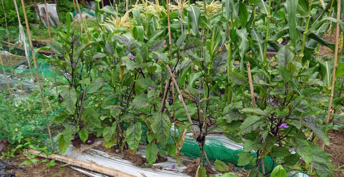 スイカ着果、ニンジンは昨年より1ヶ月以上早く種まき6・18_c0014967_10312140.jpg