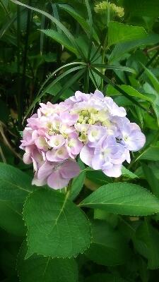 紫陽花_e0075673_18403556.jpg