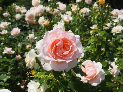 お弁当を持ってQueen Mary\'s Rose Gardenへ_f0238789_2045140.jpg